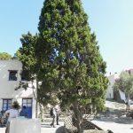 Drzewo na przeciw domu Dalego